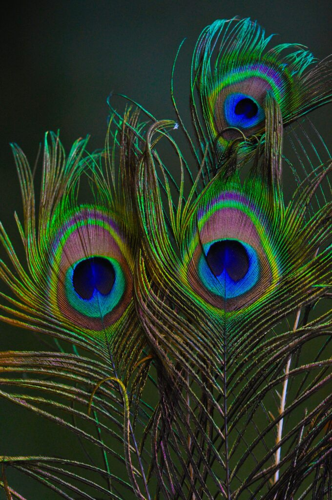 Peacock-Feather-with-saturated-colors