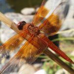Red Skimmer Dragonfly – CSUN Gardens, photo by Dennis Amador Cherry